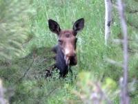 Crystal Lakes Colorado Moose Cow