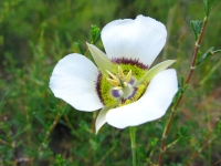 Rocky Mountain Colorado Wildflower