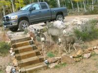 Crystal Lakes Colorado Front Yard Deer