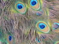 Benedictine Monastery Peacock Feathers