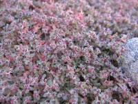 Anza Borrego Desert State Park Wildflowers