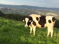 Taylor Mountain Cow Grazing, Santa Rosa CA