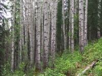 Tumbler Ridge Point Trail Birch Grove