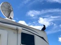 Petersen Creek BC Raven and Satellite Dish