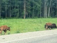 Alaska Highway Wood Bison