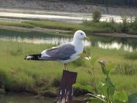 Mew Gull, Whitehorse Yukon