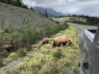 Grizzly Bear Momma and Cubs near Destruction Bay, Yukon
