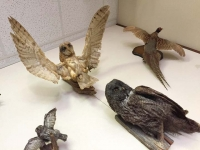 Hyder Alaska History Museum Taxidermy, Bird Mounts