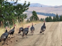 Hot Springs Montana Wild Turkeys
