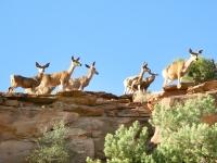 Deer Along Ridge of Capitol Reef Fremont River Trail