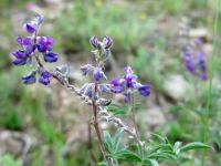 Colorado wildflowers at upper Vickers Ranch