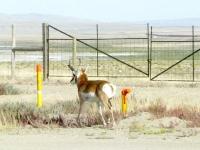 Sinclair Wyoming Roadside Proghorn Sheep