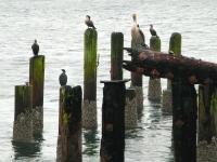 sea birds at crab dock in Winchester Bay, Oregon