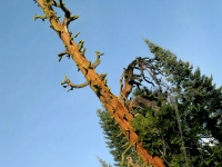 thousands year old cedar tree Shasta, CA