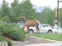 Elk Roam Estes Park Streets