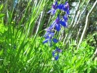 Roosevelt Wilderness Colorado Wildflower
