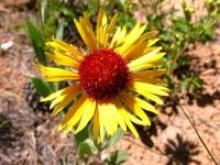 Rocky Mountain Wildflower