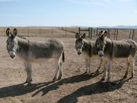 Elfrida Arizona Ranch Donkeys