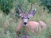 Vickers Ranch Deer Outside RV Door