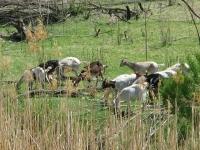 Los Chivos de Mexico en el Rio Grande