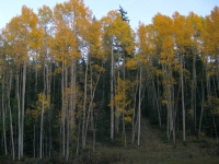 Vickers Ranch Gold Hill Aspens