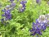 Luckenbach, Texas Blue Bonnet Wildflowers