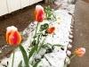 Snow on Tulips