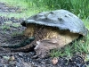 Aligator Snapping Turtle, Fort Collins Colorado