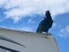 Petersen Creek BC Raven