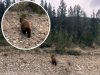 Alaska Highway Bear Sighting