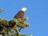 Yukon River Bridge Bald Eagle