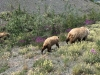 Grizzly Bear Momma and Cubs near Destruction Bay, Yukon