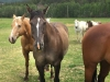 Vickers Ranch Horses