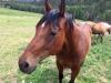 Vickers Ranch Horses