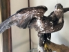 Hyder Alaska History Museum Taxidermy, Juvenile Bald Eagle