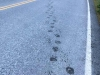 Bear prints on highway at Fish Creek, Hyder Alaska