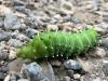 Big Ass Caterpillar