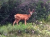 Vickers Ranch Workamping RV Site Deer