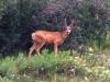 Vickers Ranch Workamping RV Site Deer