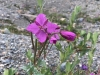 Columbia Icefields Wildflower