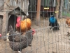 Harvest Hosts Chickens and Peacock