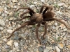 Fountain of Youth Tarantula Spider