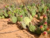 Spring Cactus Bloom in Capitol Reef National Park