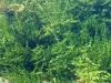 Water plants thrive near beaver dam at Schwabacher Landing