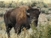 Close encounters with Buffalo in Grand Teton National Park