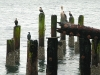 sea birds at crab dock in Winchester Bay, Oregon