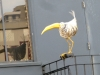 Elusive Gay Bird on Polk Street, San Francisco, CA