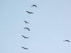 cranes in flight over Arizona ranch
