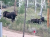 Crystal Lakes Moose Cow and Calves out our window