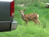 Fawn visits workamper site at Vickers Ranch